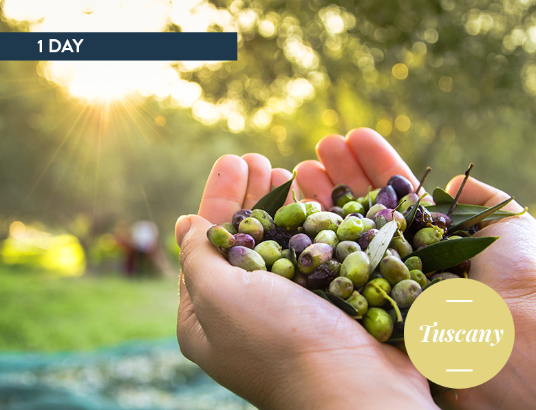 Olive experience in Tuscany